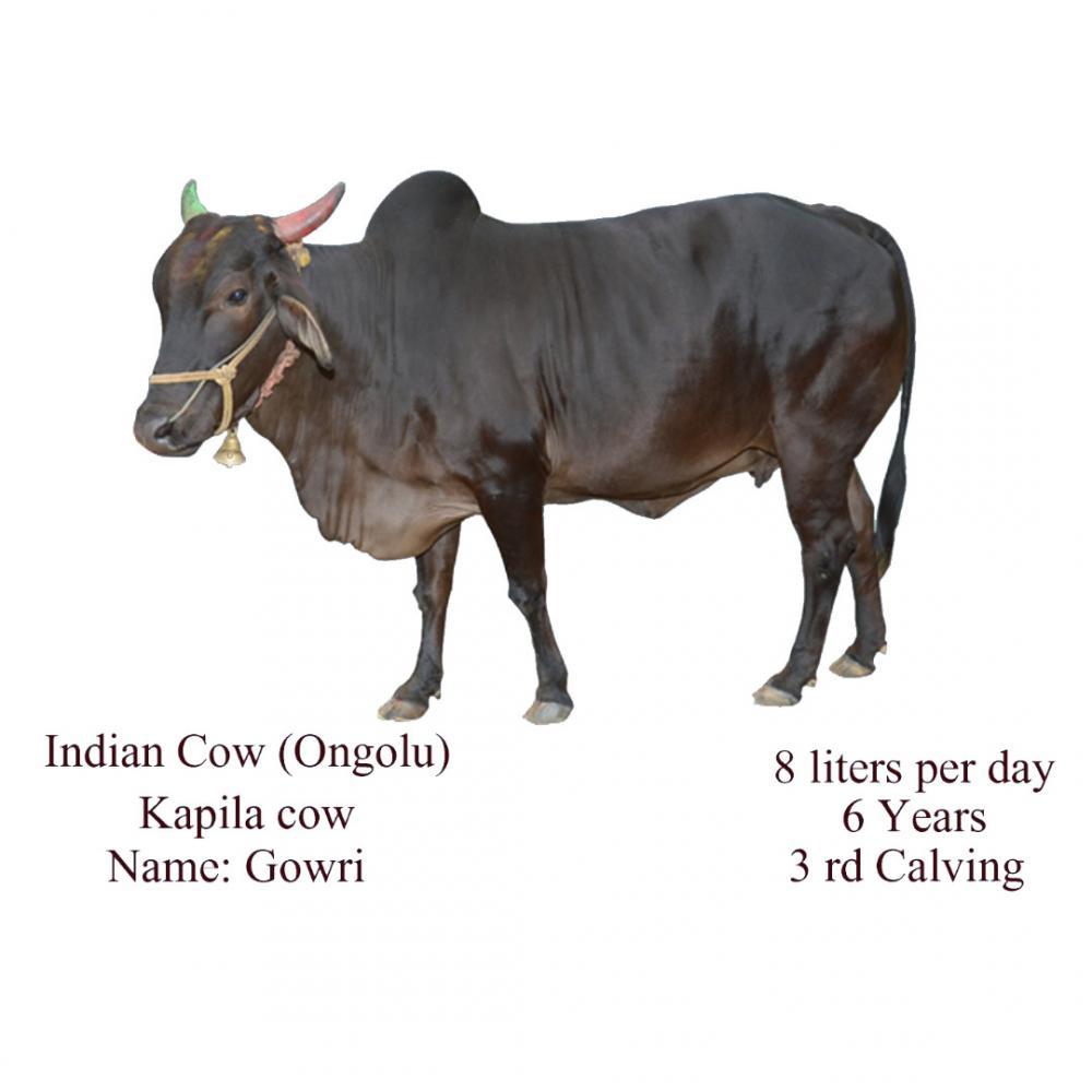 Avadhoota Datta Peetham | Mysuru Ashrama Cows